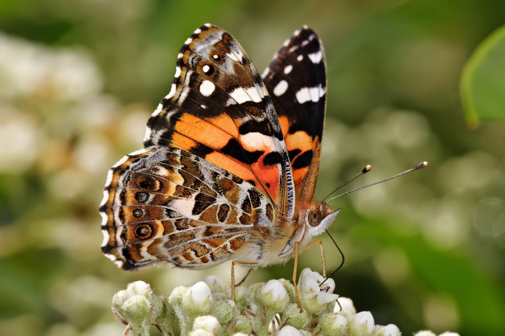 mariposa etimologia