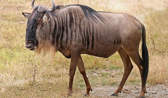 ñu caballo pequeño con cabeza de toro