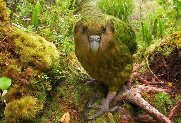 Kakapo-2